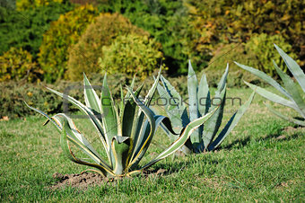 agava in the garden