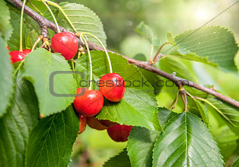 Red and sweet cherries on a branch just before harvest in early