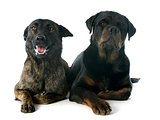 Holland Shepherd and rottweiler