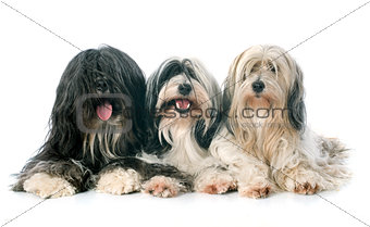 three Tibetan terrier