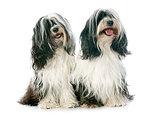 two Tibetan terrier