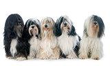 five Tibetan terrier