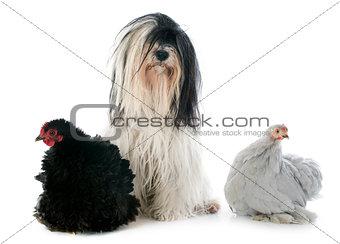 Tibetan terrier and chicken