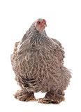 brahma chicken
