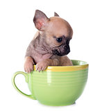 puppy chihuahua in cup