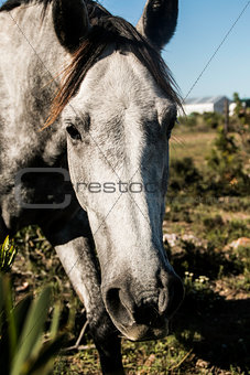 Grey horse peeking