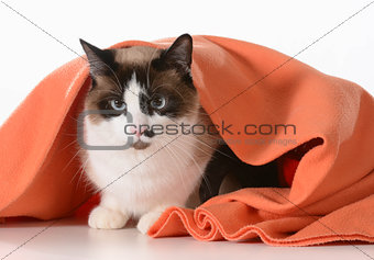 cat hiding under blanket