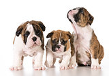 bulldog litter