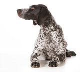 german shorthaired pointer female