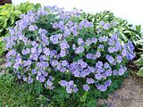 A purple flowered bush