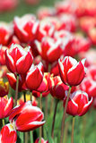 Red and White Tulips Closeup