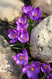 Crocus (Crocus Vernus) flowers growing between the stones