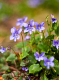 Viola (plant)