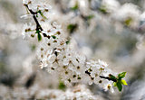 White flowers of tree in spring