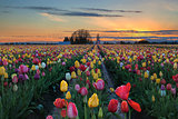 Tulip Farm Field at Sunset