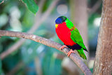 Collared Lory of the Fiji Islands