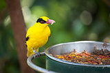 Feeding Black-naped Oriole of Eastern Asia with Worm in Beak