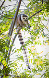 The Rare Lemur Feeding in Trees