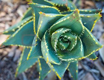 Abstract of Desert Succulent