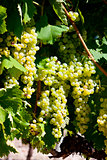 white grape in Jarnac, Poitou-Charentes, France