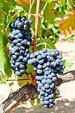 blue grapes, La Rioja, Spain