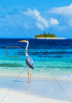 Grey heron on Maldives island