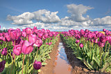 Rows of Purple Tulip Flowers