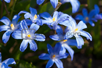 Scilla (Squill) flowers