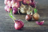 Onion with fresh green sprout