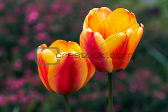 blooms of tulip