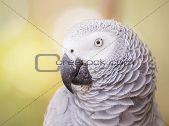 African Grey Parrot closeup