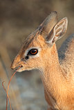 Damara dik-dik antelope