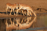 Impala antelopes drinking