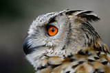 An Eurasian Eagle owl one of the worlds largest owls