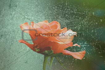 abstract distressed view of red rose