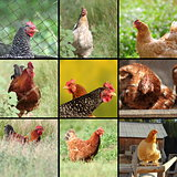 images of hens and roosters