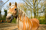Horse with pigtails against spring background