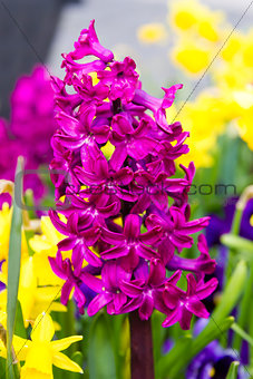 blooming hyacinth flowers (hyacinthus)