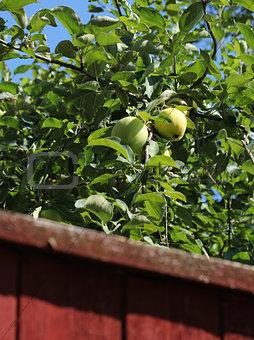 Green apples behind garden fence