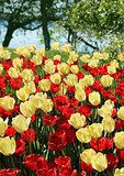 Red and nlight yellow tulips field
