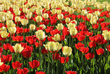 Red and natural white tulips field