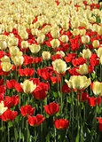 Red and light yellow tulips field