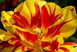 Brightly coloured Monsella tulip