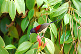 male black throated sunbird