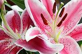 Stargazer Lily Flowers Closeup