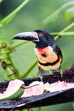 Aracari Tucan