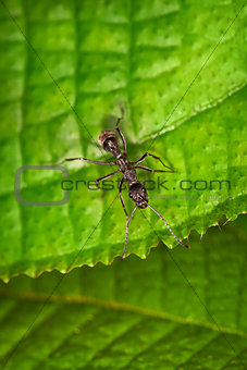 Black ant on the green leaf