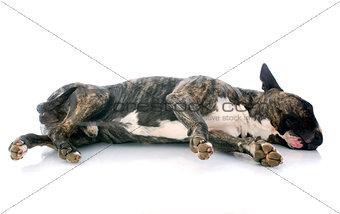sleeping bull terrier
