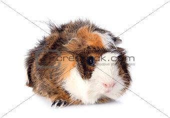 guineal pig