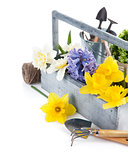Spring flowers in wooden basket with garden tools